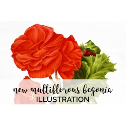 New Multiflorous Begonia