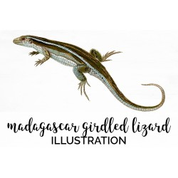 Madagascar Girdled Lizard