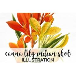 Canna Lily Indian Shot Canna Indica
