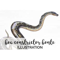 Constrictor Bonte