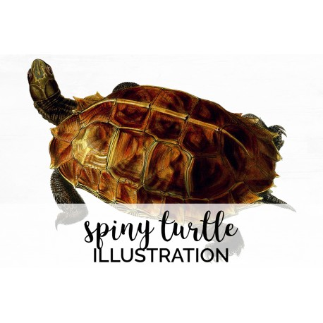 Spiny Turtle