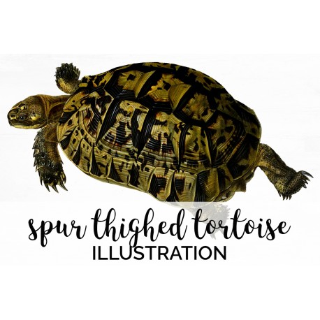 Spur Thighed Tortoise