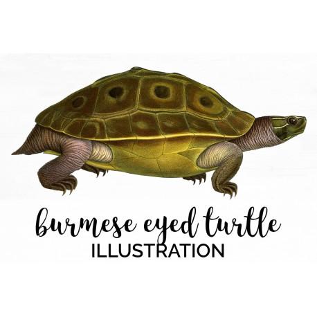 Burmese Eyed Turtle