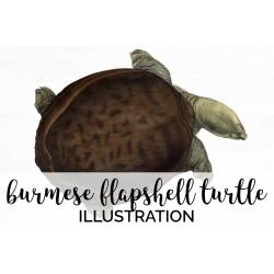 Burmese Flapshell Turtle Female