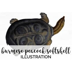 Burmese Peacock Softshell