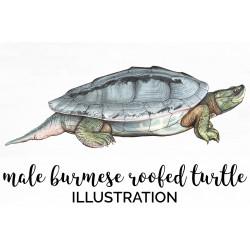 Burmese Roofed Turtle Male