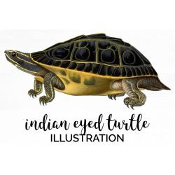 Indian Eyed Turtle