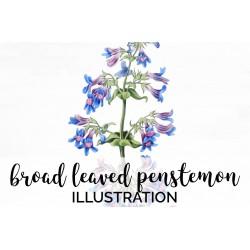 Broad Leaved Penstemon