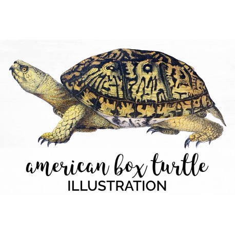 American Box Turtle
