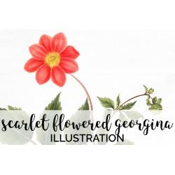 Scarlet Flowered Georgina