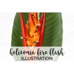 Heliconia Fire Flash