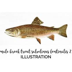 Male Brook Trout Salvelinus Fontinalis 2