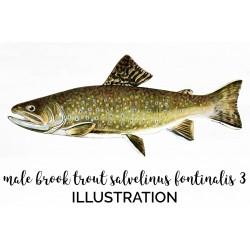 Male Brook Trout Salvelinus Fontinalis 3