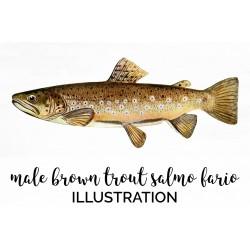 Male Brown Trout Salmo Fario