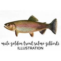 Male Golden Trout Salmo Gilberti