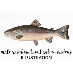 Male Rainbow Trout Salmo Irideus