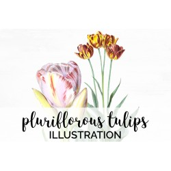 Pluriflorous Tulips