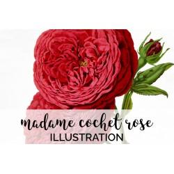 Madame Scipion Cochet Rose