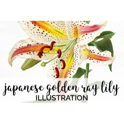 Japanese Golden Ray Lily