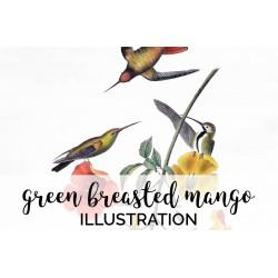Green Breasted Mango Hummingbird