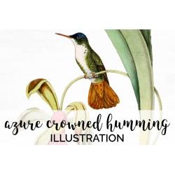 Azure Crowned Hummingbird
