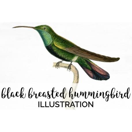 Black Breasted Hummingbird