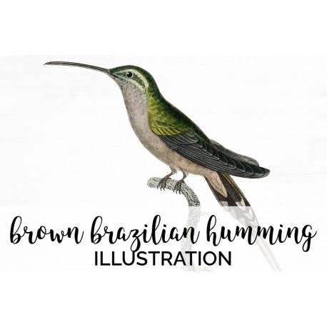 Brown Brazilian Hummingbird