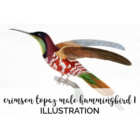 Crimson Topaz Male Hummingbird 1