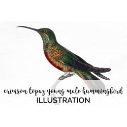 Crimson Topaz Young Male Hummingbird