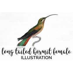 Long tailed Hermit female hummingbird