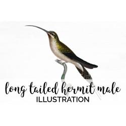 Long tailed Hermit Male Hummingbird