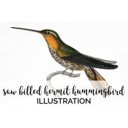 Saw billed Hermit Hummingbird