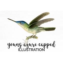 Young Azure Capped Hummingbird