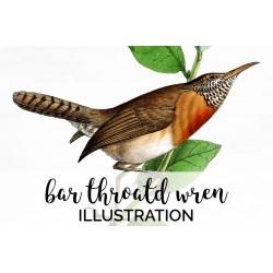 Bar throatd Wren