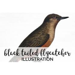 Black Tailed Flycatcher