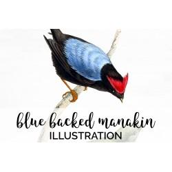 Blue Backed Manakin