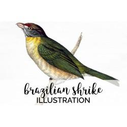 Brazilian Shrike