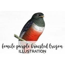 Female Purple Breasted Tragon