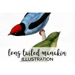 Long Tailed Manakin