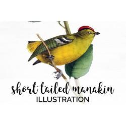 Short Tailed Manakin