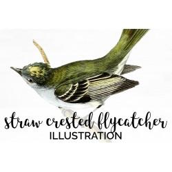Straw Crested Flycatcher
