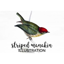 Striped Manakin
