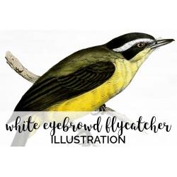 White Eyebrowd Flycatcher