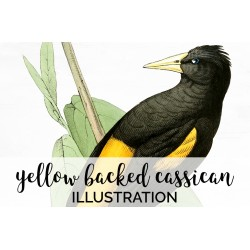 Yellow Backed Cassican