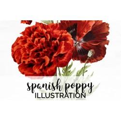 Spanish Poppy