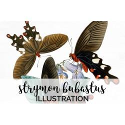 Strymon Bubastus Butterfly