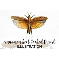 Cinnamon Keel Backed Locust