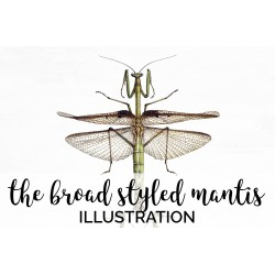 the Broad Styled Mantis
