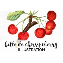 Belle de Choisy Cherry