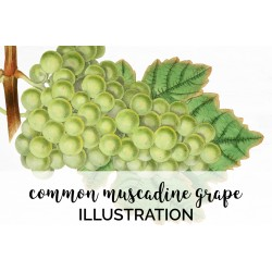 Common Muscadine Grape